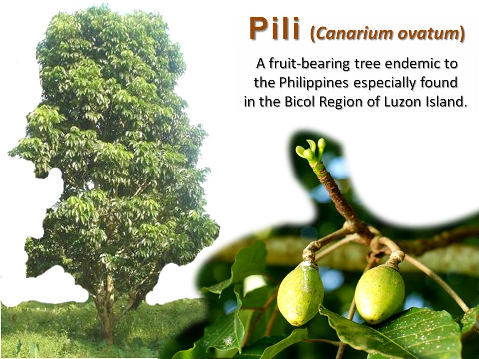 "The Pili Nut of Bicol, Philippines: ""In a nutshell, it's"